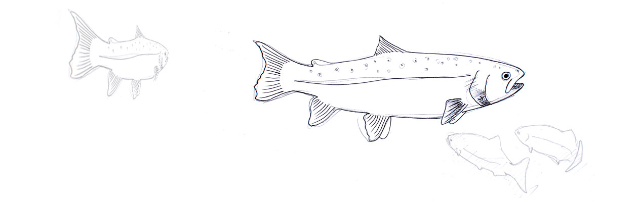 salmon sketch subject to copyright s. mckenzie