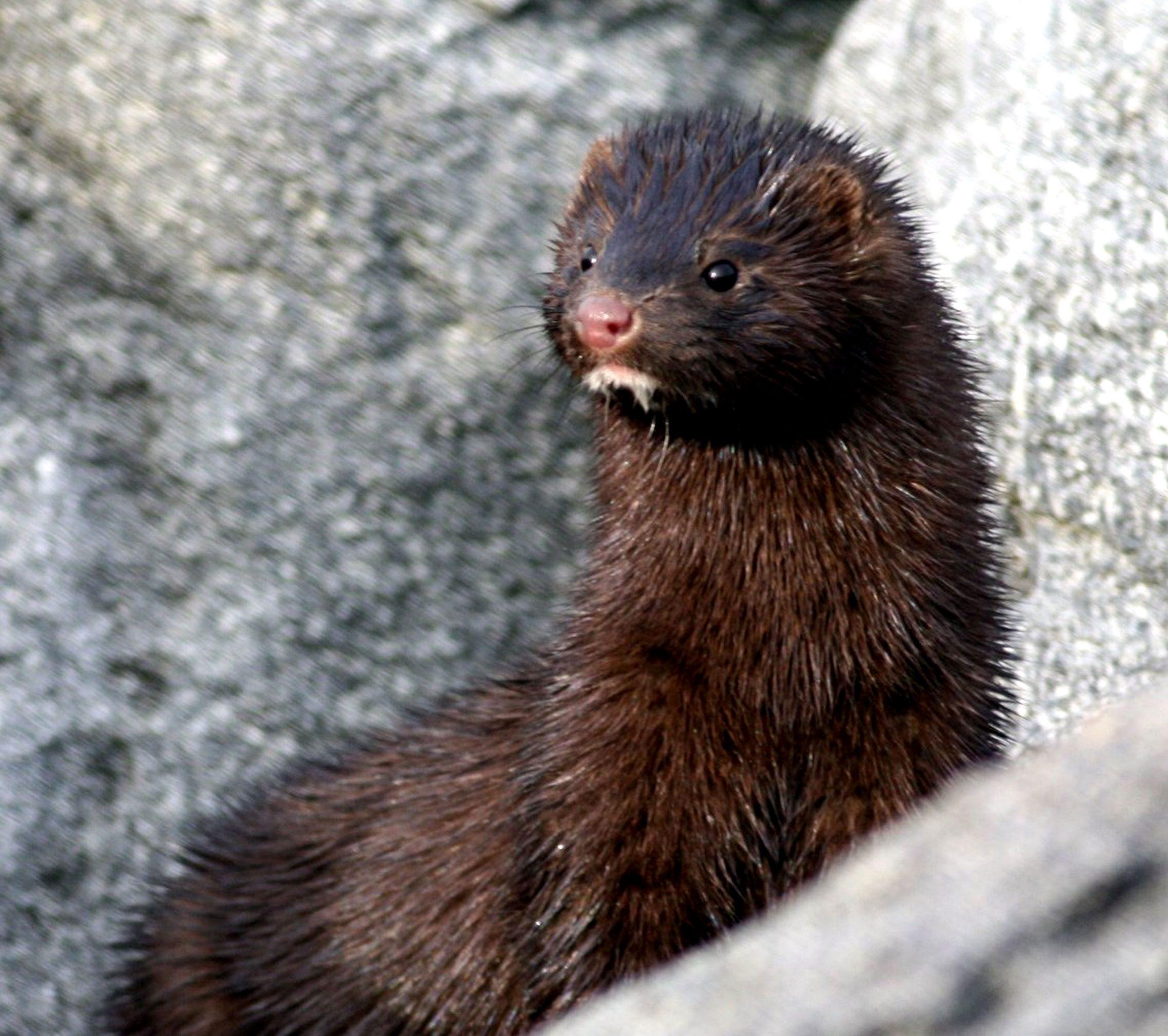 mink Scottish Invasive Species Initiative