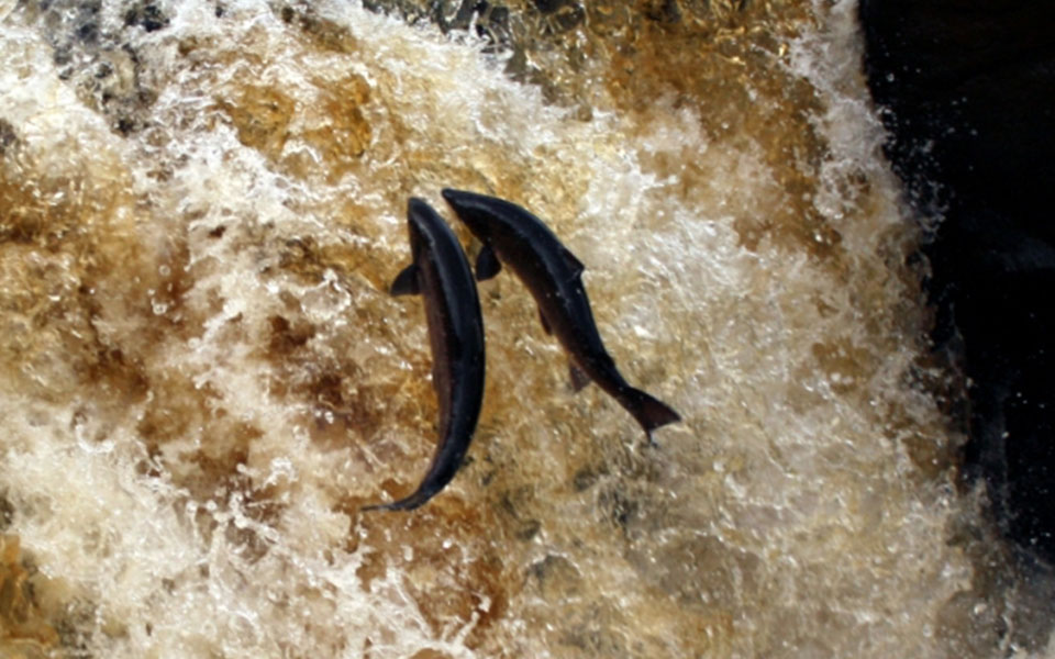 salmon leaping skye and lochalsh rivers