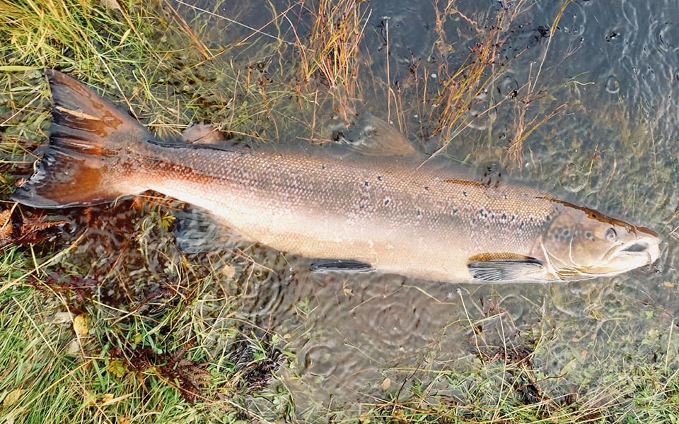 Atlantic Salmon, skye and lochalsh rivers trust